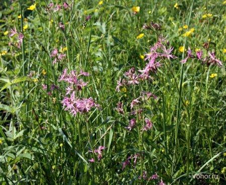 Горицвет кукушкин (кукушкин цвет) Coronaria flos-cuculi