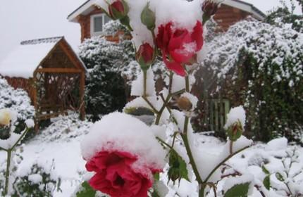 розы на зиму фото