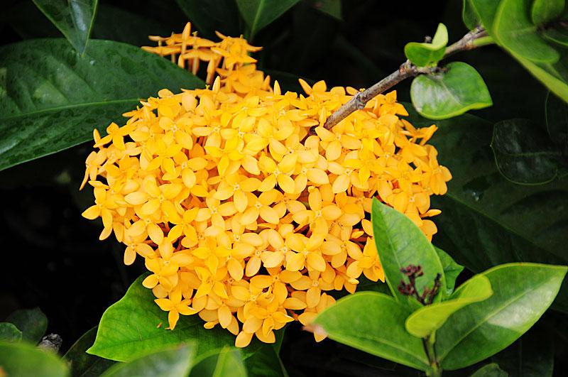 иксора растение фото