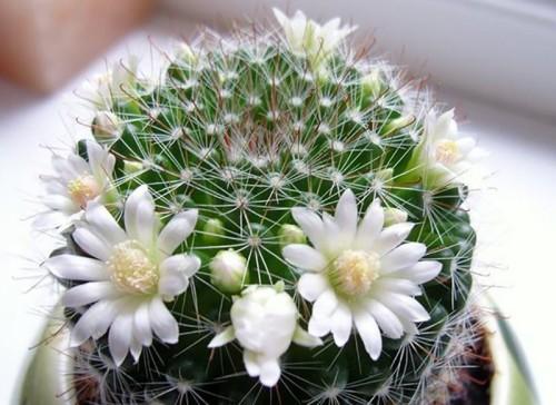кактусы цветущие фото