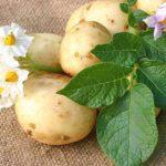 Все о картошке