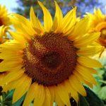Подсолнечники – лучисто-желтые, солнечные цветы