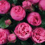 Купить розы с доставкой. Купить розовые розы.
