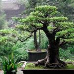 Немного о дереве бонсай