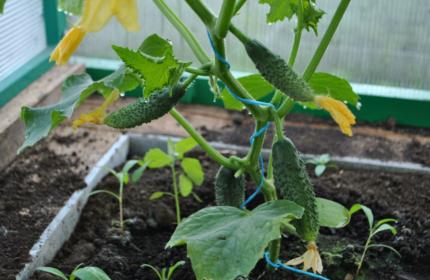 Как получить богатый урожай огурцов