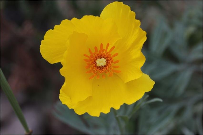Глауциум желтый желтый