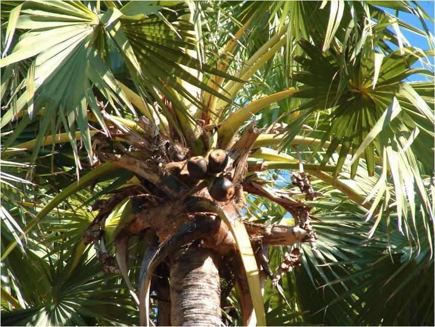 Пальма пальмировая пальма