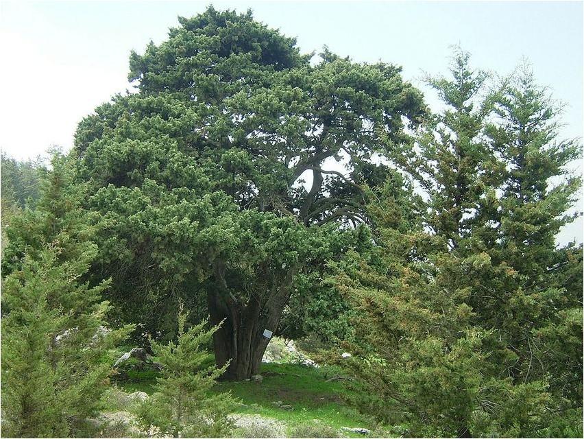 Кипарис вечнозелёный кипарис