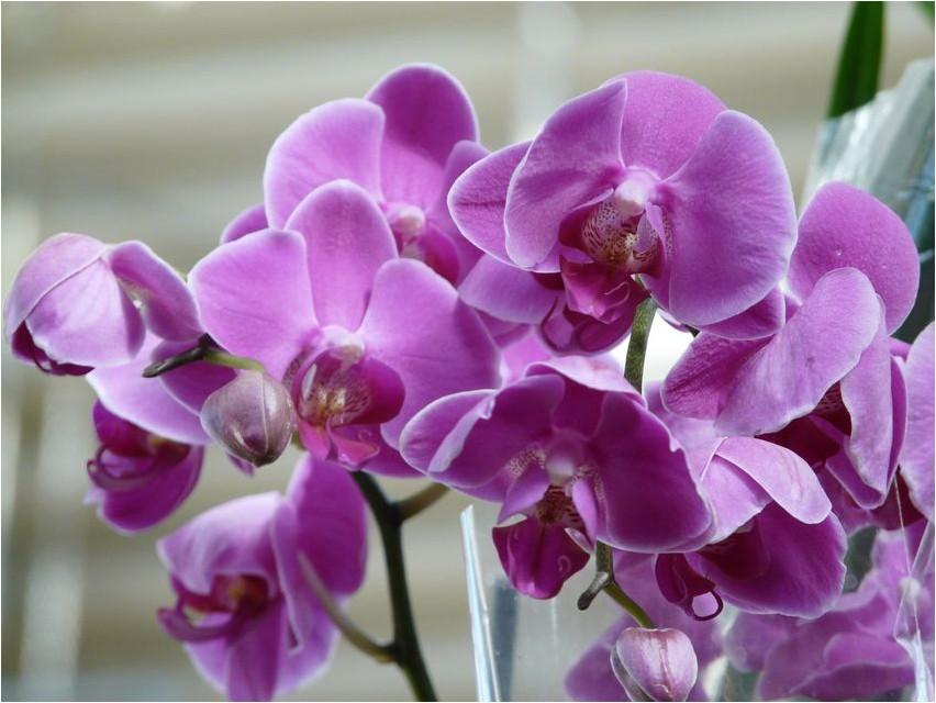 Орхидея орхидея
