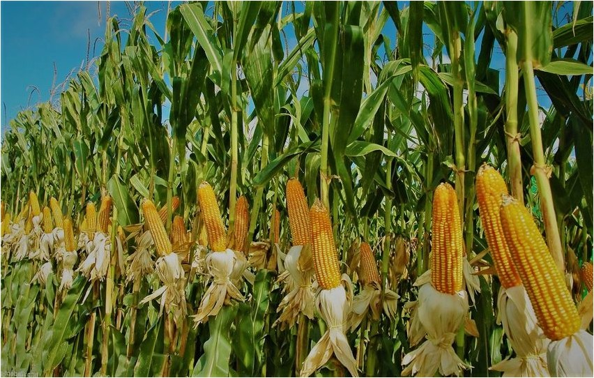 Кукуруза кукуруза