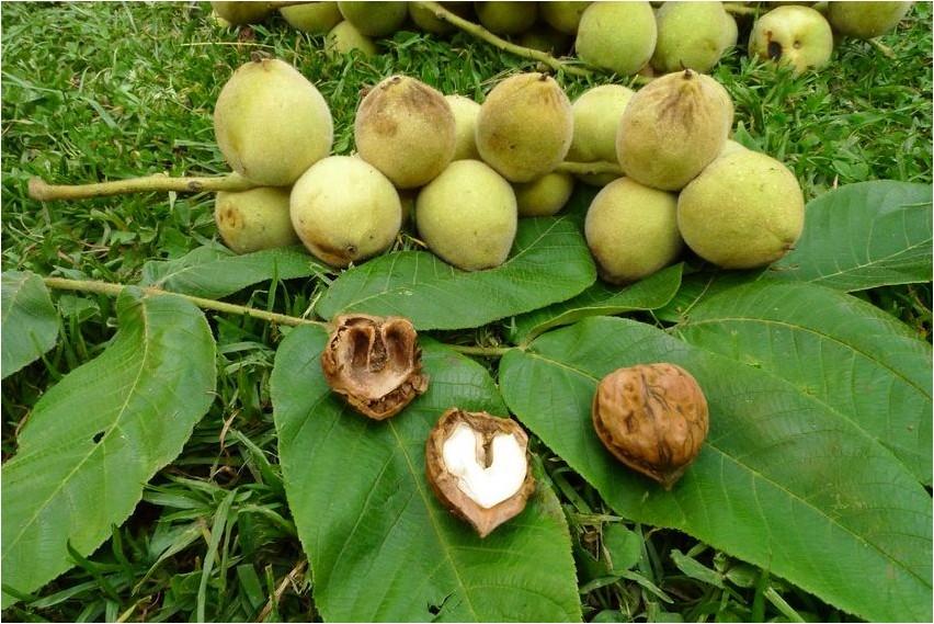Орех маньчжурский орех
