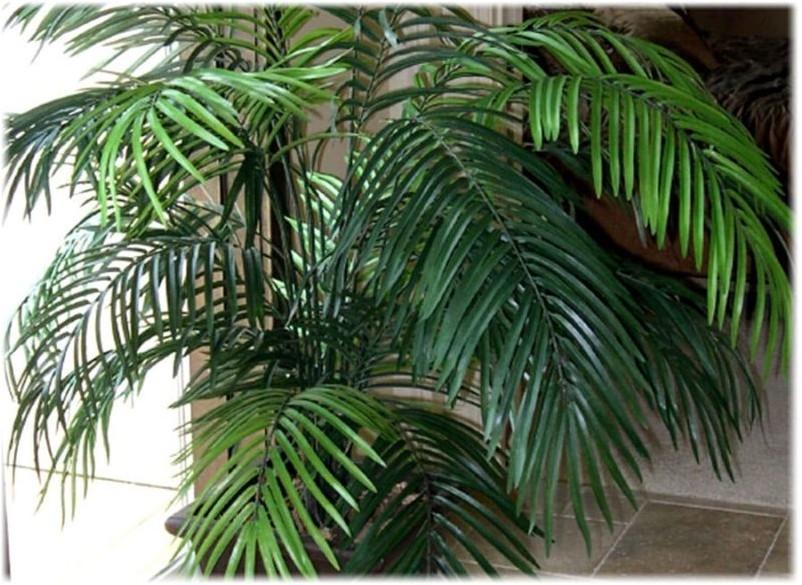 Арековая пальма, или Бетелевая пальма пальма