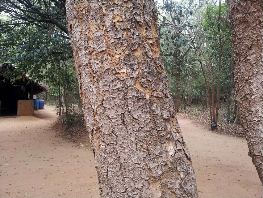 Атласное дерево дерево