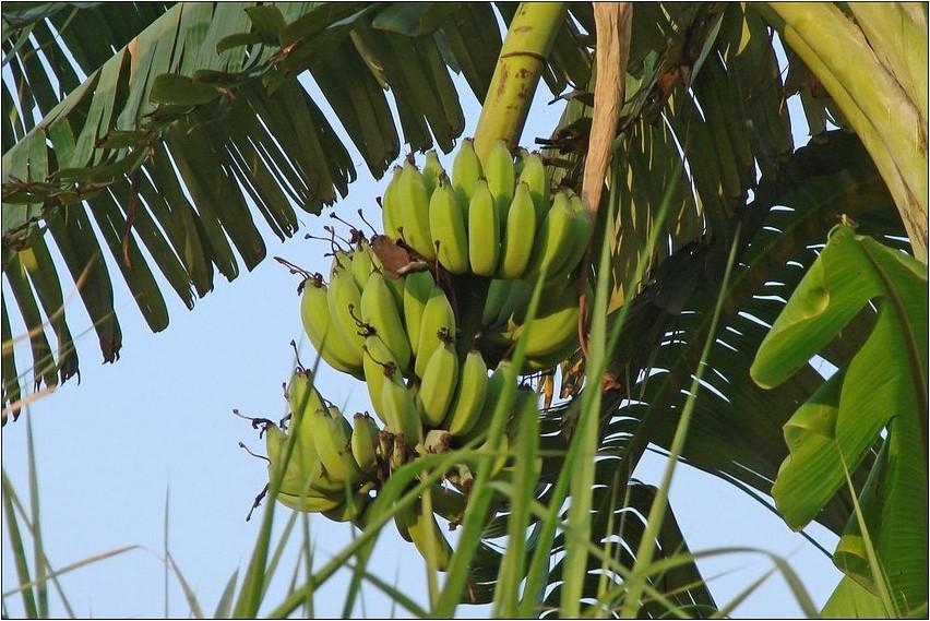 Банан банан