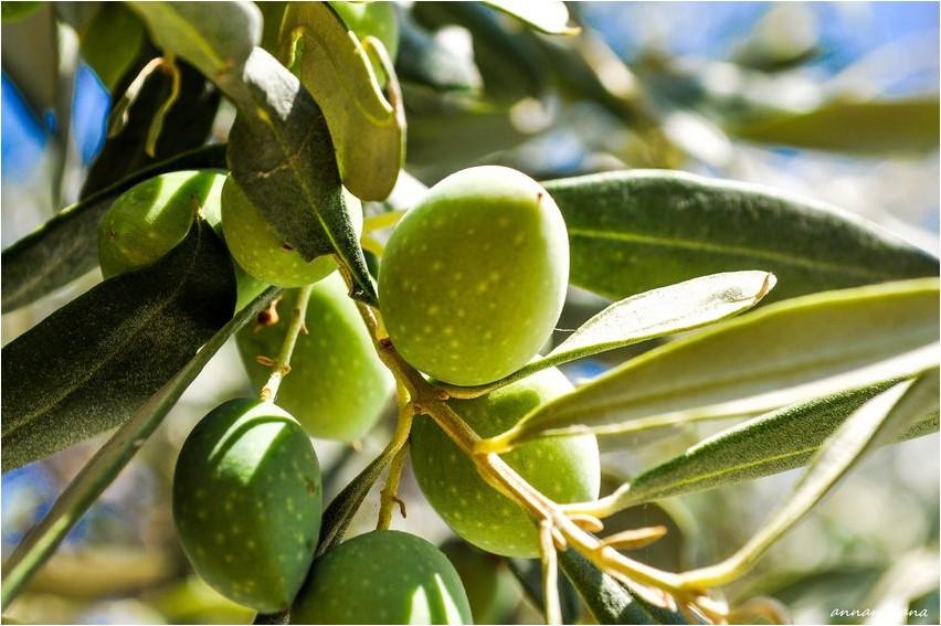 Оливки оливки