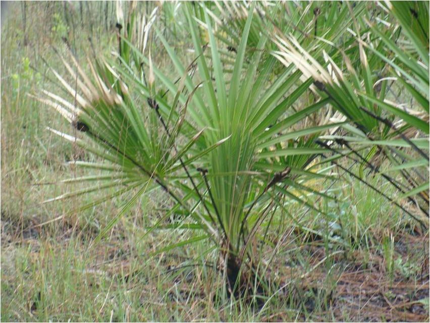Пальма Сереноя, или Сереноа пальма