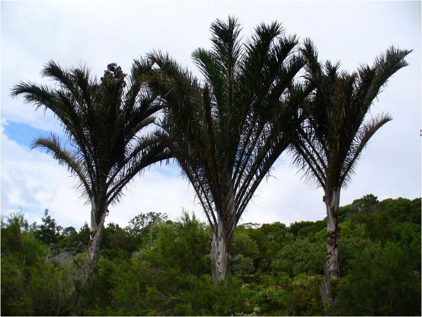 Раффийская пальма, или Рафия рафия