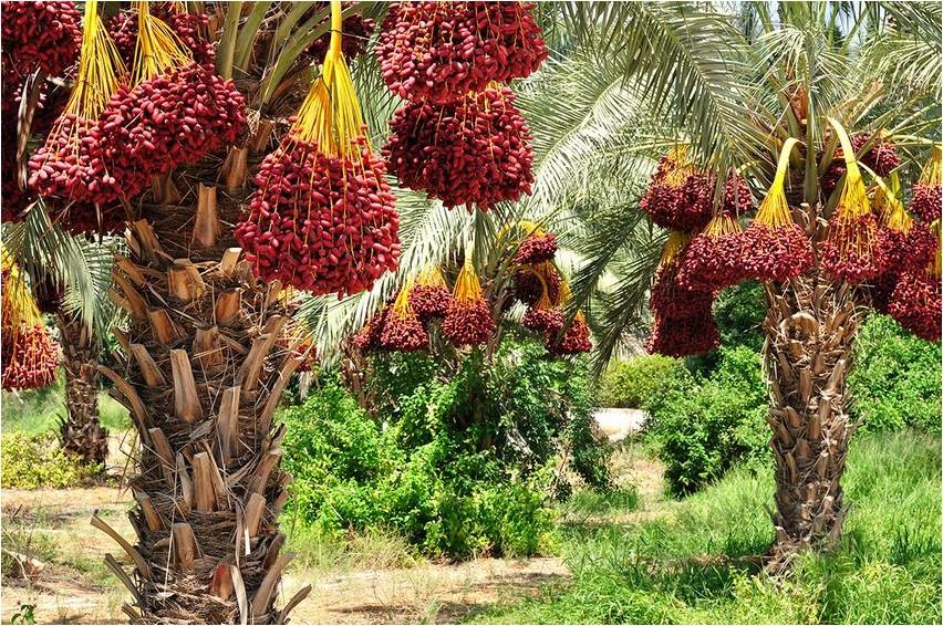 Масличная пальма, или Элеис пальма