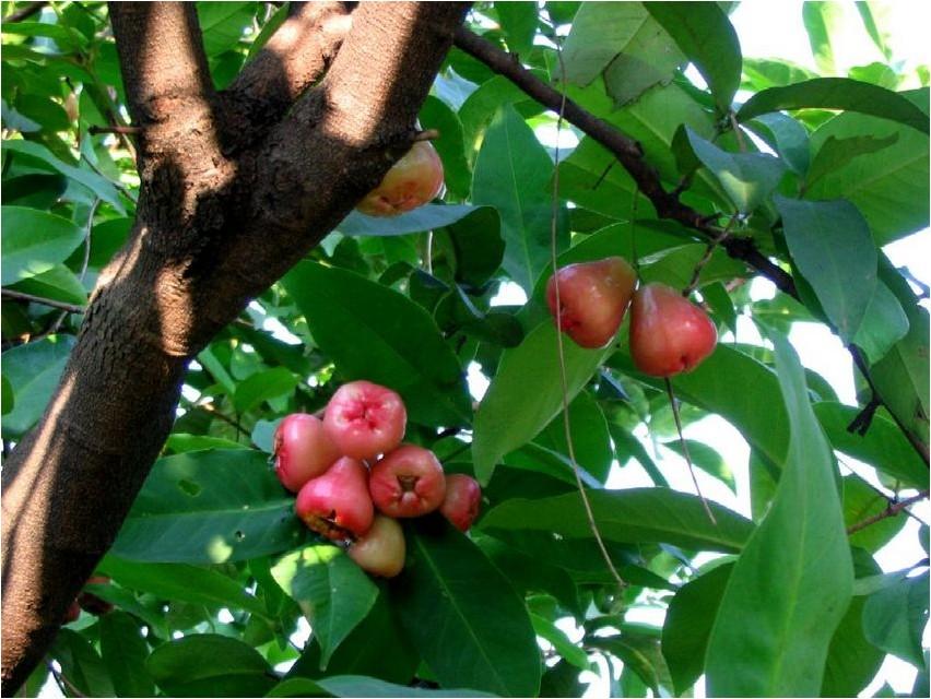 Яванское яблоко яблоко