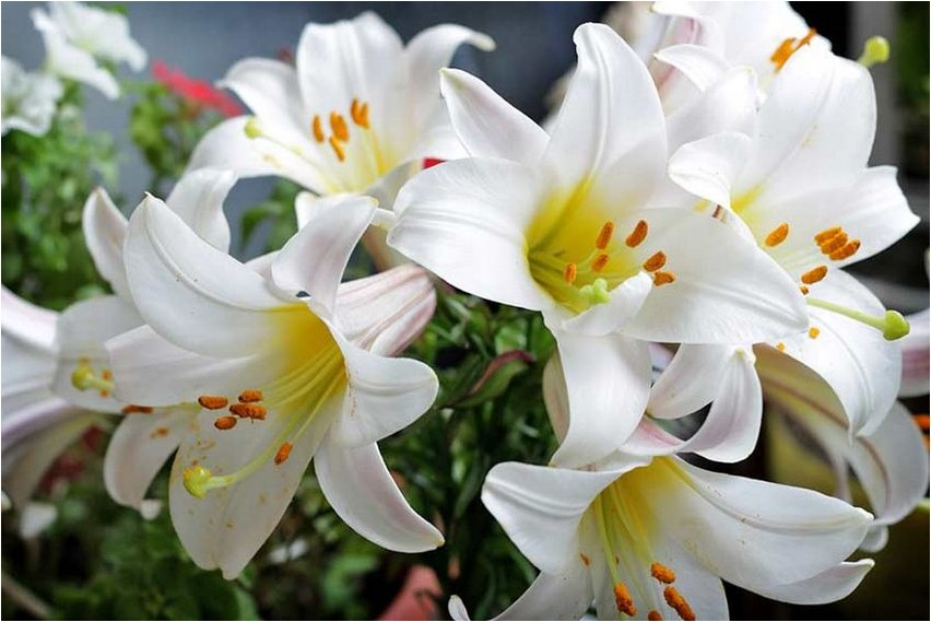 Лилия белая лилия