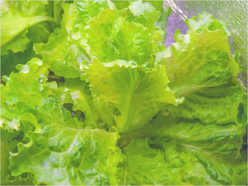 Салат листовой салат